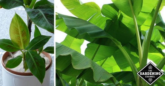 Growing Banana Trees and Plants