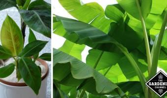 Growing Banana Trees and Plants