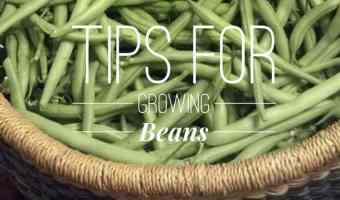 Grow Great Beans (and Keep Diseases Away)