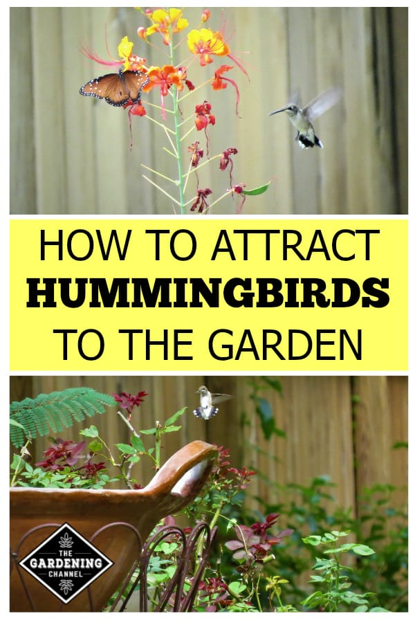 hummingbird on plat and hummingbird in garden with text overlay how to attract hummingbirds to the garden
