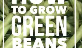 How to Grow Great Green Beans in Containers