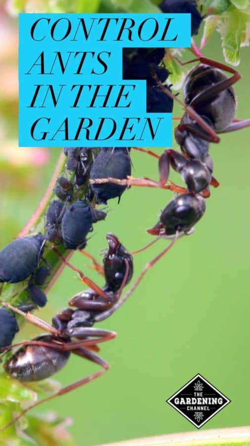 Learn to control ants in your vegetable garden with these helpful tips and tricks.