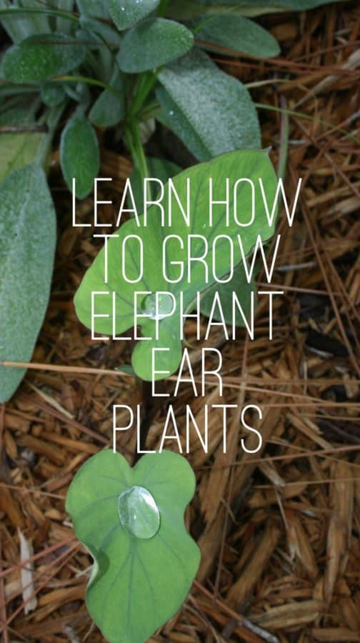 How to grow elephant ear plants