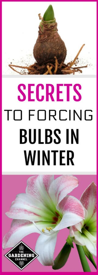 force bulbs indoors in winter
