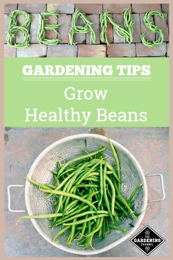 harvested beans on brick and harvested bean in colander with text overlay gardening tips grow heathly beans