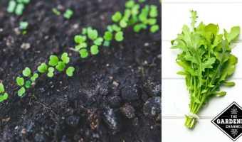 growing arugula