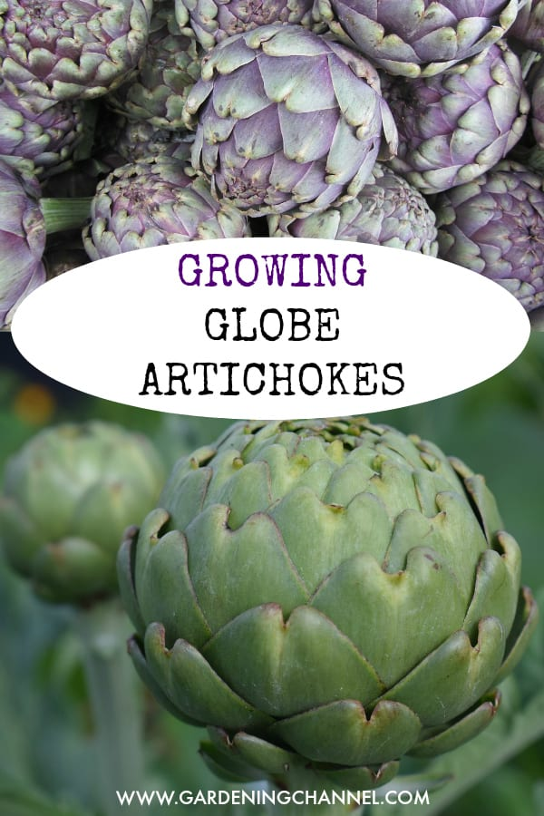 globe artichokes and artichoke plants with text overlay growing globe artichokes