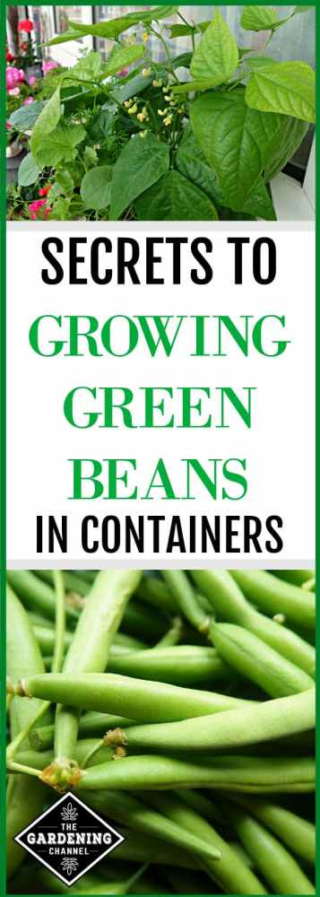 green beans in container with close up of harvested green beans with text overlay secrets to growing green beans in containers
