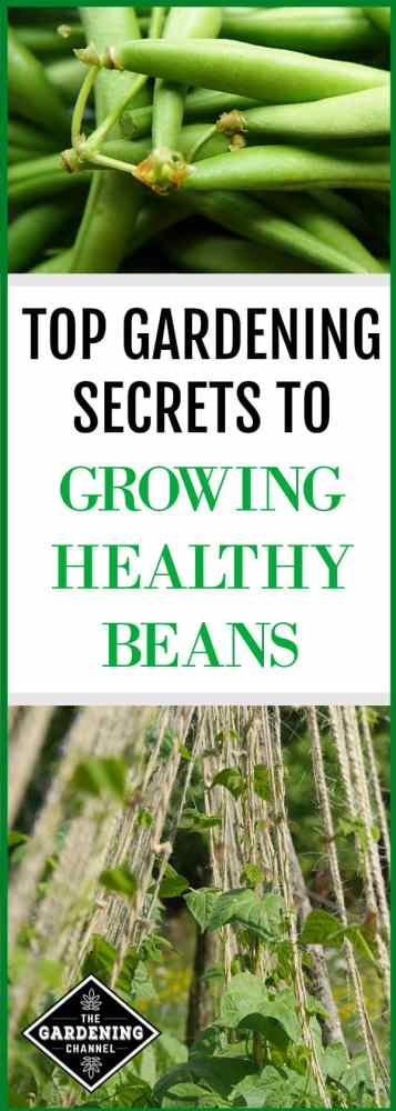 In home vegetable gardens, green beans rank second only to tomatoes in popularity. Green beans are easy to grow, but gardeners should take measures for disease prevention for healthy bean crops.