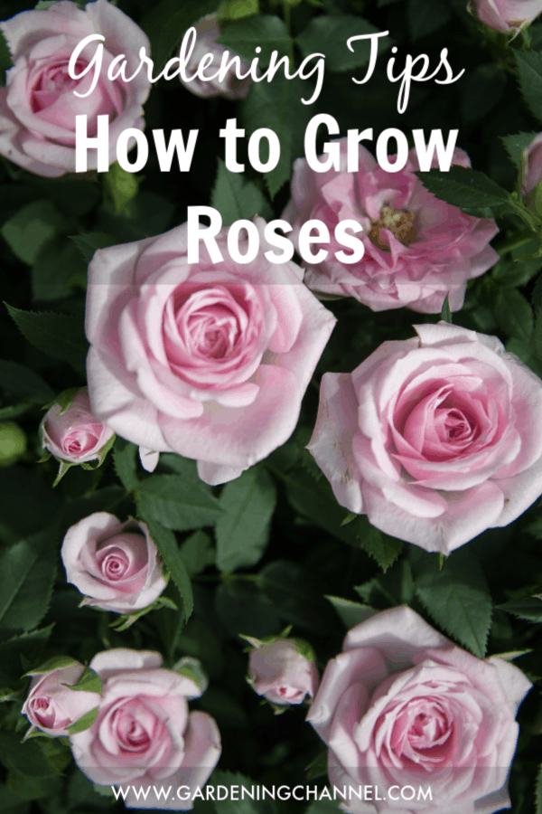 closeup of rose bush with text overlay gardening tips how to grow roses