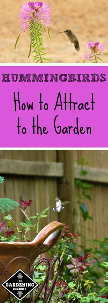 hummingbird with flower and hummingbird in garden with text overlay hummingbirds how to attract to the garden