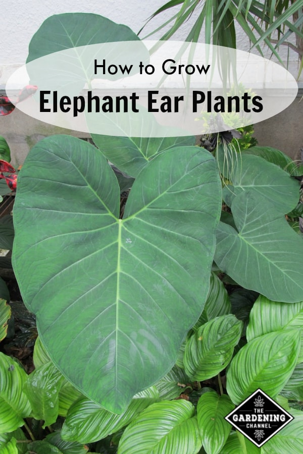 elephant ear plant in flower bed with text overlay how to grow elephant ear plants