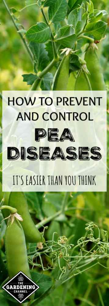 peas growing in vegetable garden with text overlay how to prevent and control pea diseases it's easier than you think