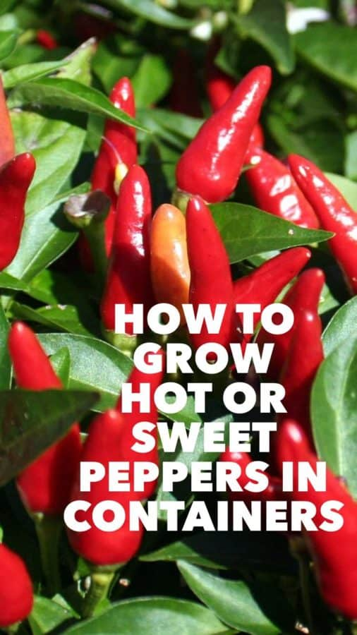 how to grow peppers in container garden