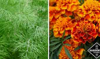 dill and marigolds for pest control in organic garden