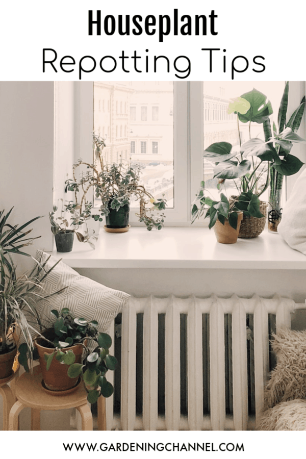 houseplants in bedroom with text overlay houseplant repotting tips