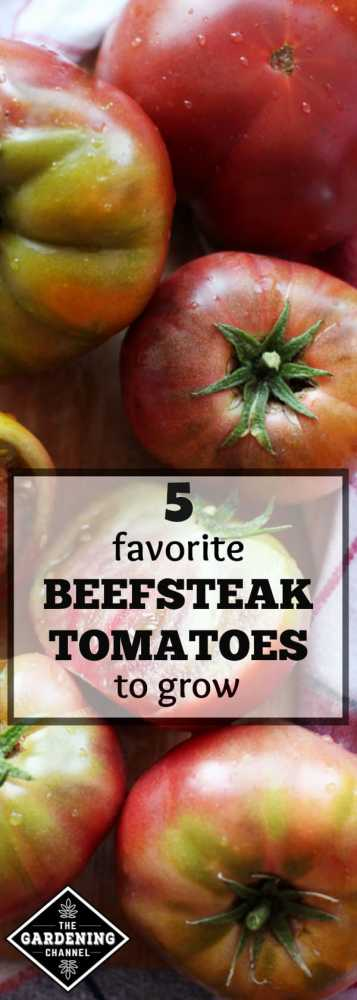 Grow these favorite varieties of Beefsteak tomatoes in your tomato garden. They hold together well, are perfect for sandwiches, and are among the best tomatoes for eating raw.