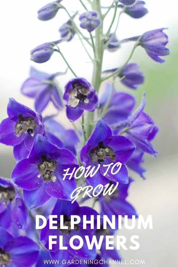 Delphinium flowers with text overlay how to grow Delphinium flowers