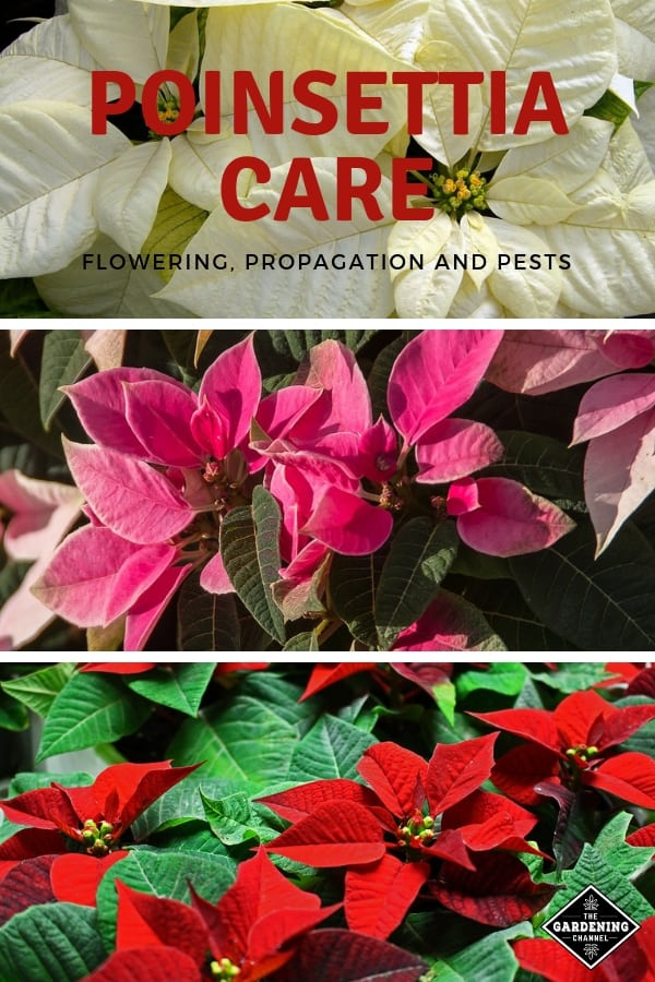 white pink and red poinsettias with text overlay poinsettia care flower propagation and pests