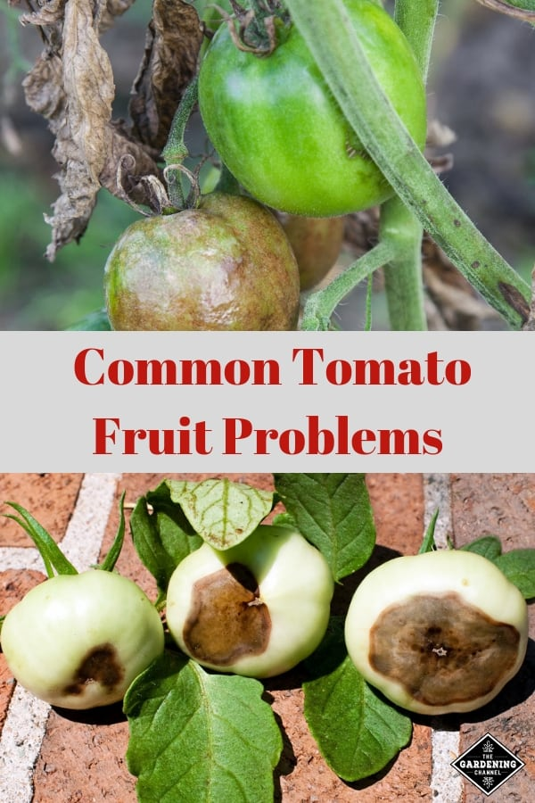 tomato disease and tomato blossom end rot with text overlay common tomato fruit problems