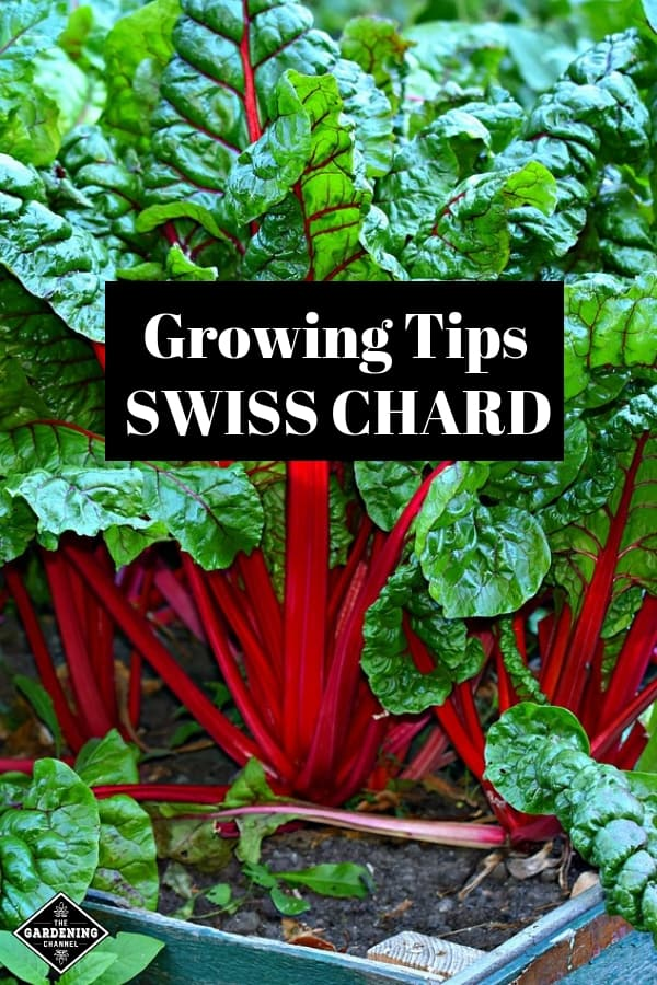 How To Grow Swiss Chard Gardening Channel