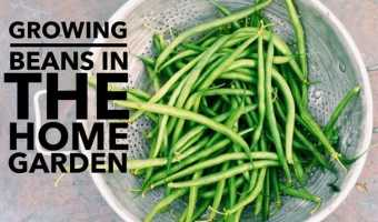 Growing Tips for Beans