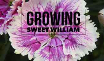 Growing Sweet William