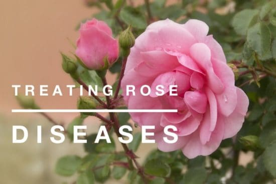 Treating Common Rose Diseases
