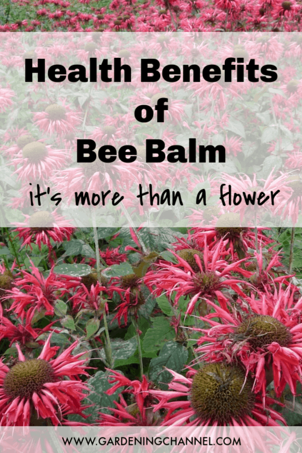 bee balm with text overlay health benefits of bee balm it's not just a flower