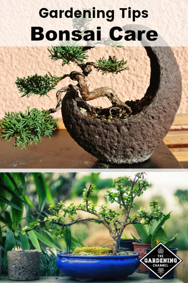bonsai tree and bonsai in container outside with text overlay gardening tips bonsai care