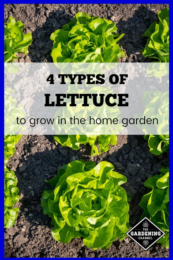 lettuce in garden with text overlay four types of lettuce to grow in the home garden