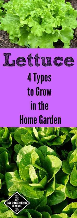 lettuce varieties for the home garden