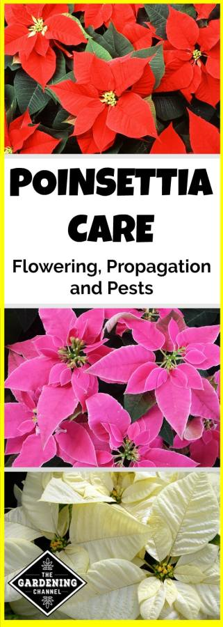 growing tips and poinsettia care