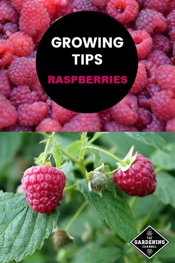 harvested raspberries and raspberry bush with text overlay growing tips raspberries
