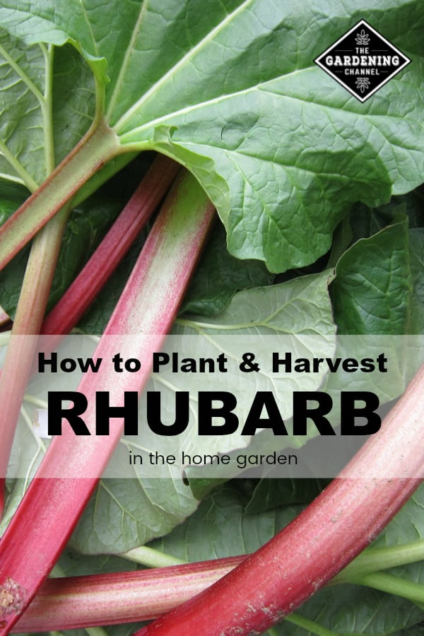 harvested rhubarb with text overlay how to plant and harvest rhubarb in the home garden