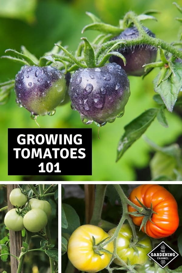 black tomatoes tomato stakes with text overlay growing tomatoes 101