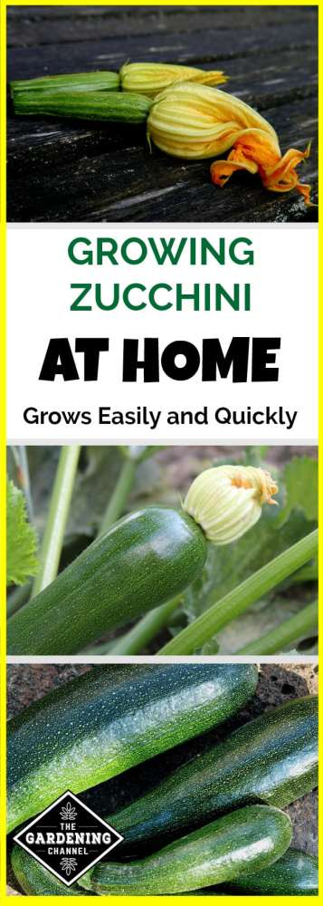 zucchini plants growing in the garden with text overlay about growing zucchini at home grows easily and quickly