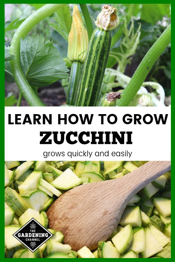 zucchini in garden and cooking zucchini with text overlay learn how to grow zucchini grows quickly and easily