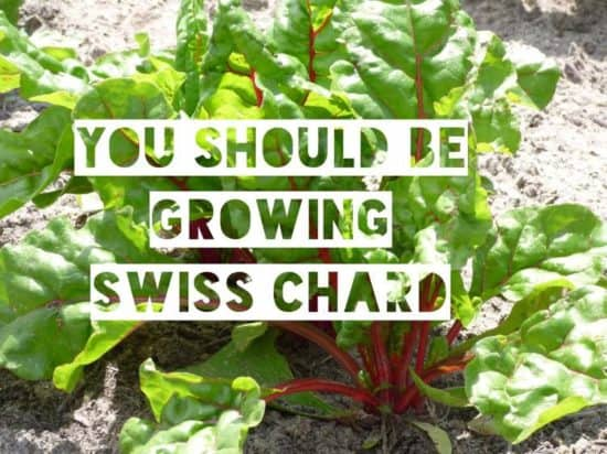 swiss chard easy to grow and healthy
