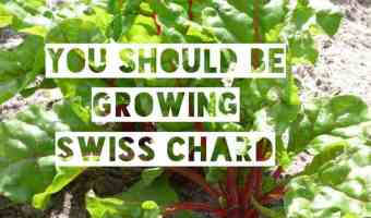 Swiss Chard: Easy to Grow and Healthy to Eat