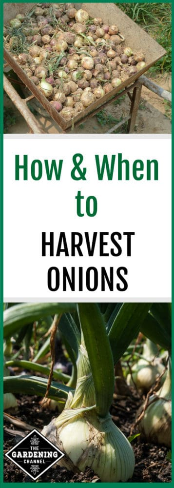 harvested onions in wheelbarrow and closeup of onions growing in garden with text overlay how and when to garvest onions