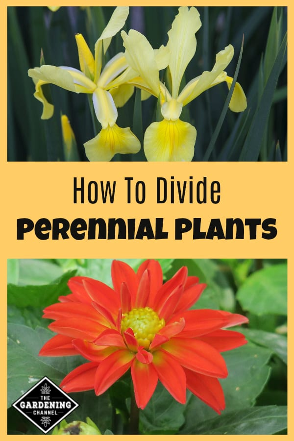 yellow irises and orange dahlia with text overlay how to divide perennial plants