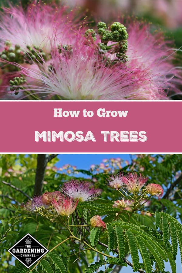 mimosa tree close up and mimosa tree with text overlay how to grow mimosa trees