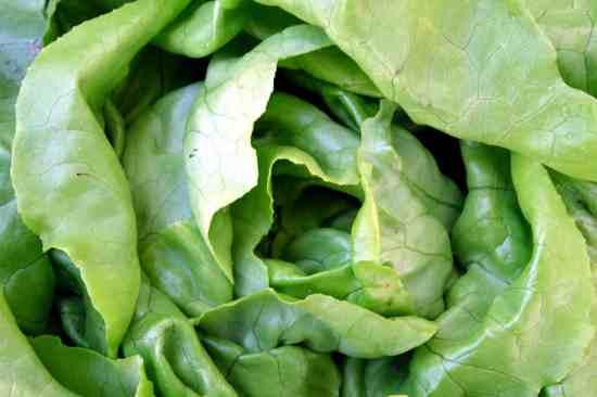 lettuce for the home garden