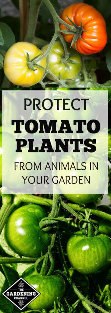 tomatoes ripening on plant in garden and green tomatoes growing on vine with text overlay protect tomato plants from animals in your garden