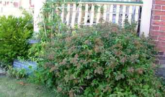 Growing Spirea
