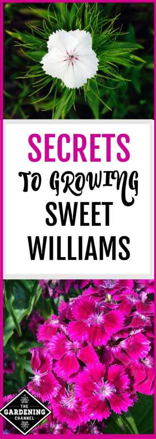 sweet williams