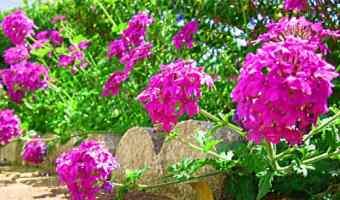 How to Grow Verbena