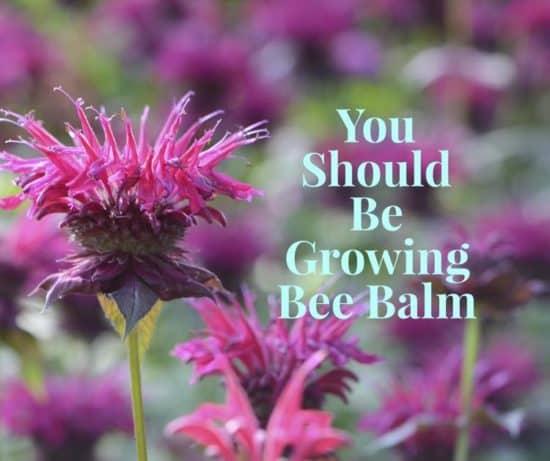 learn to grow bee balm