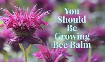 What You Need to Know About the Bee Balm Plant